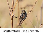 common reed bunting. cute... | Shutterstock . vector #1156704787