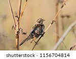 common reed bunting. cute... | Shutterstock . vector #1156704814