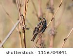 common reed bunting. cute... | Shutterstock . vector #1156704841