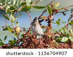 whinchat young sitting on bush. ... | Shutterstock . vector #1156704907