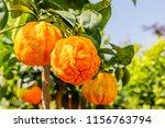orange citrus fruits grow on a... | Shutterstock . vector #1156763794