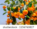 Calamondine Fruits  And Foliag...