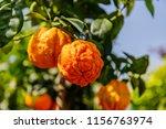orange citrus fruits grow on a... | Shutterstock . vector #1156763974