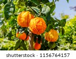 orange citrus fruits grow on a... | Shutterstock . vector #1156764157