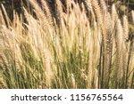 ornamental grass field on a... | Shutterstock . vector #1156765564