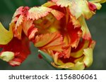 unusual tulip in spring | Shutterstock . vector #1156806061