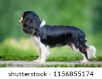 cute cavalier king charles... | Shutterstock . vector #1156855174
