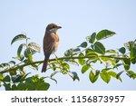 red backed shrike  lanius... | Shutterstock . vector #1156873957