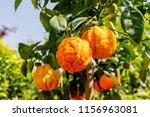 orange citrus fruits grow on a... | Shutterstock . vector #1156963081