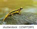 salamandra salamandra... | Shutterstock . vector #1156972891