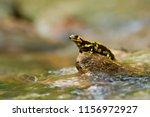 salamandra salamandra... | Shutterstock . vector #1156972927