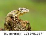 Gargoyle Gecko Or New...