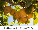 branch with many pyrus... | Shutterstock . vector #1156993771