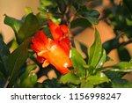 Bright Orange Calyx And Flower...