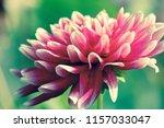botanical flower  beautiful and ... | Shutterstock . vector #1157033047