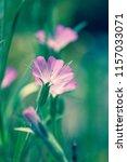 botanical flower  beautiful and ... | Shutterstock . vector #1157033071