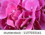 botanical flower  beautiful and ... | Shutterstock . vector #1157033161