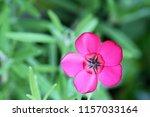 botanical flower  beautiful and ... | Shutterstock . vector #1157033164