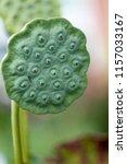 botanical flower  beautiful and ... | Shutterstock . vector #1157033167