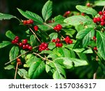 closeup red berry in the bush | Shutterstock . vector #1157036317