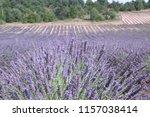 fields of lavender  lavandula... | Shutterstock . vector #1157038414