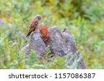 wildlife uk.kestrel  falco...   Shutterstock . vector #1157086387