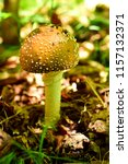fly agaric panther  lat.... | Shutterstock . vector #1157132371