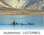 group of killer whale near the... | Shutterstock . vector #1157298811