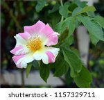 a beautiful rosehip flower in... | Shutterstock . vector #1157329711