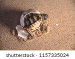 common tortoise baby is... | Shutterstock . vector #1157335024