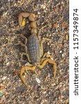 common yellow scorpion  buthus... | Shutterstock . vector #1157349874