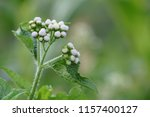 billygoat weed or ageratum... | Shutterstock . vector #1157400127