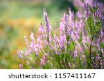 Forest Heather Close Up
