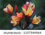 Plumeria Flowers  Macro Nature...