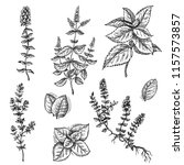 mint and thyme vector set. hand ... | Shutterstock .eps vector #1157573857