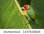 A Male Red Headed Barbet...