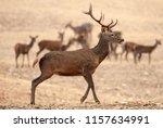 red deer  cervus elaphus  wild | Shutterstock . vector #1157634991