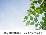 closeup view leaf green and... | Shutterstock . vector #1157674267