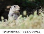alert little ground squirrel...   Shutterstock . vector #1157709961