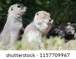 adorable little ground squirrel ...   Shutterstock . vector #1157709967