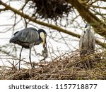 A black-headed heron removing a dead chick (likely killed by other chicks) from her nest, Kenya, Africa.