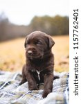 Stock photo lovely chocolate lab puppy sitting on blanket in field 1157762401