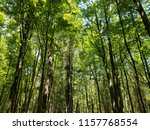 canopy of forest trees on sunny ... | Shutterstock . vector #1157768554