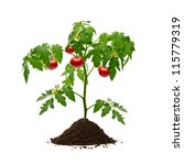 tomato plant with soil isolated ... | Shutterstock . vector #115779319