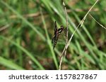 a dragonfly on dried grass | Shutterstock . vector #1157827867