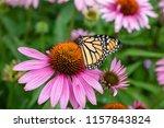 Monarch Butterfly On Purple...