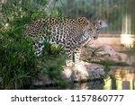 endangered arabian leopard was... | Shutterstock . vector #1157860777