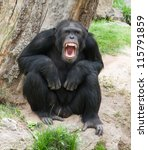 Angry Chimpanzee  Outdoor
