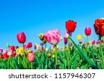 spring field with blooming...   Shutterstock . vector #1157946307