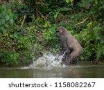 gorilla in gabon endangered... | Shutterstock . vector #1158082267